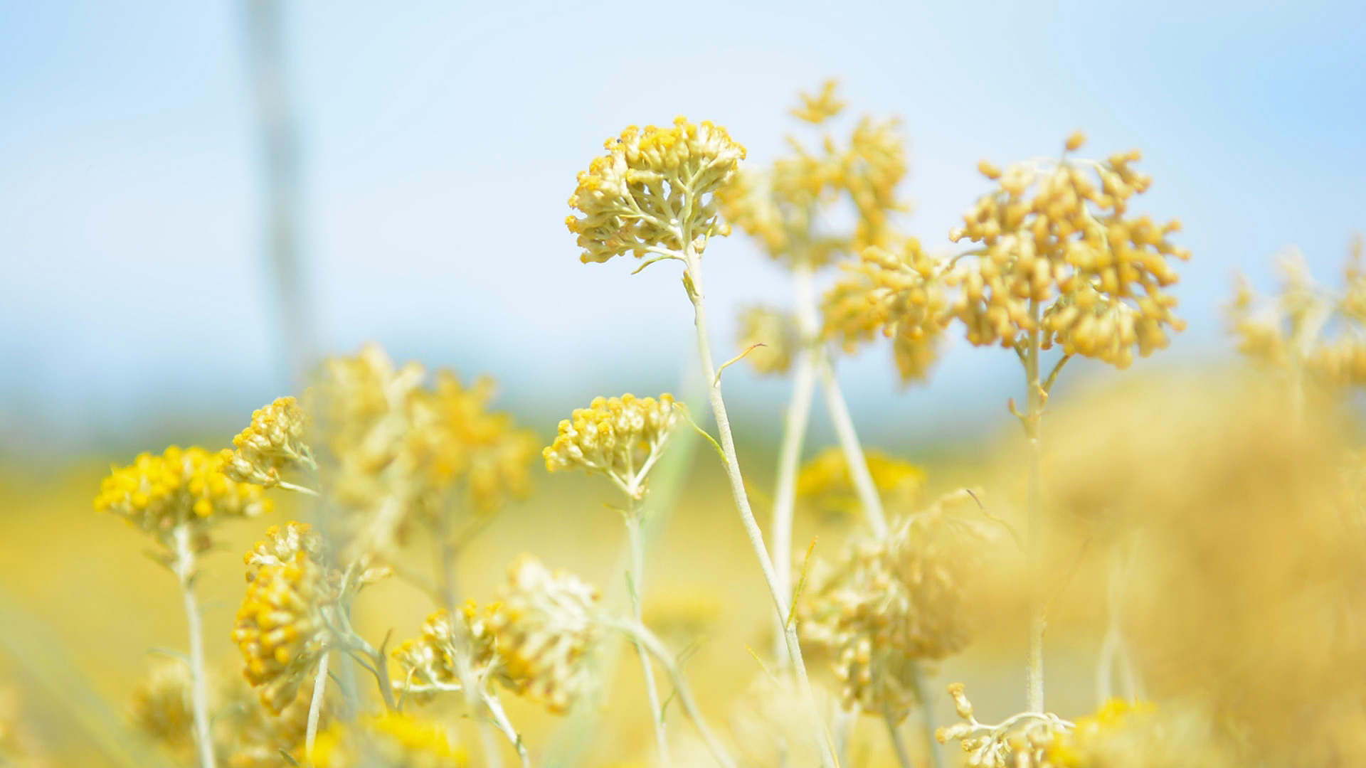 How and when to collect immortelle for drying, storage features and recommendations